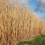 Burly Burn is made from Miscanthus (Elephant grass)